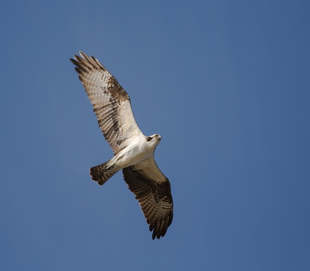 unsuspecting: Osprey on the coast of Florida searching for unsuspecting fish swimming too close to the surface  Stock Photo