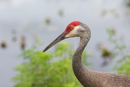 The Sandhill Crane is a year-round Florida resident. They are found in open fields or meadows. This one was in a local park in its never-ending quest for food. Stock Photo - 19820265