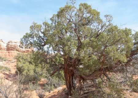 predominant: Utah juniper is the most predominant single species of trees in Utah Stock Photo