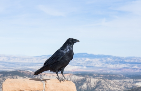 apparently: This Raven is apparently enjoying the view at Bryce Canyon National Park, Utah. Stock Photo