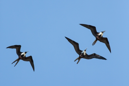 fort jefferson: Three Magnificent Frigatebirds are cavorting over Fort Jefferson in the Dry Tortugas.