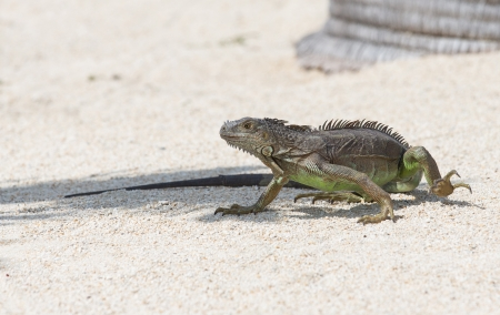 Iguana at Marathon in the Florida Keys Stock Photo - 20105216