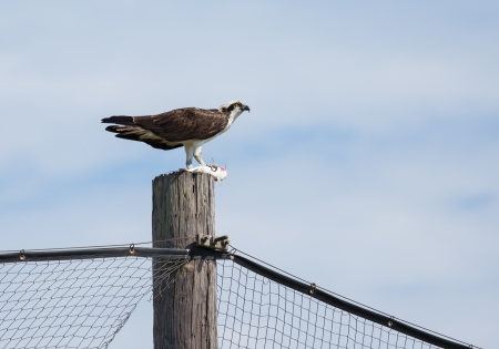 This Osprey is having a fine meal atop on of the posts Imagens