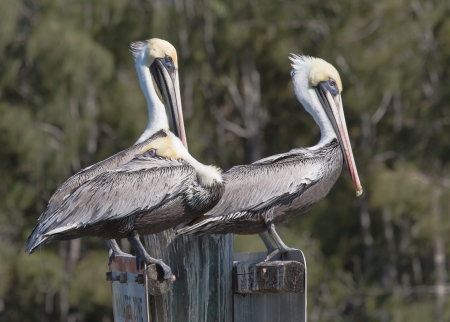 Two Brown Pelicans are taking a break  photo