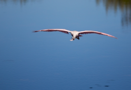 roseate: This Roseate Spoonbill is flying across marshy waters  Stock Photo