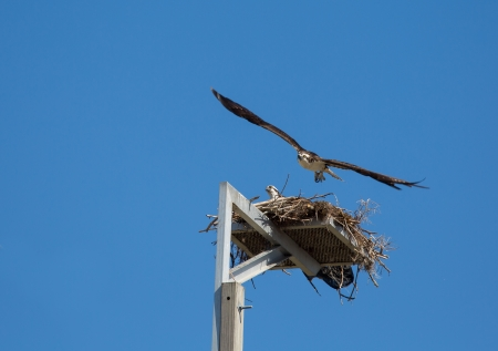 This Osprey is off to hunt for food leaving its mate in the nest  Reklamní fotografie