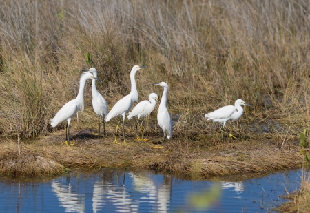 confab: Several Snowie Egrets are seen here gathered around a fish catching hot spot. Stock Photo