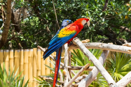 This bird is a Scarlet Macaw  It is native to Mexico, Central and South America  In the background is a Hyacinth Macaw