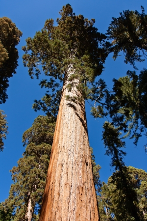 This is a giant sequoia in Mariposa Grove  located near Wawona, California, United States, in the southernmost part of Yosemite National Park. photo