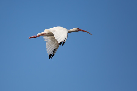 curved leg: This solitary White Ibis is flying against a beautiful blue sky  Stock Photo