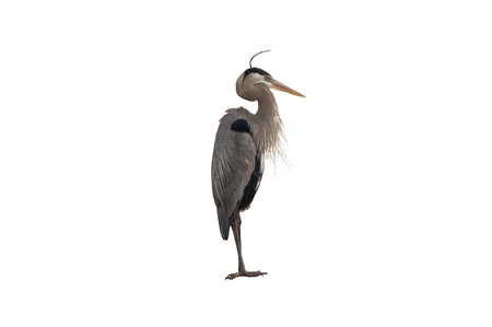This image is of a Great Blue Heron isolated on a white background  photo