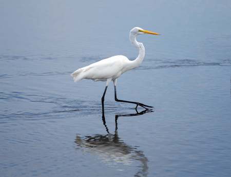 purposely: This Great Egret is striding purposely across the wetlands  Stock Photo