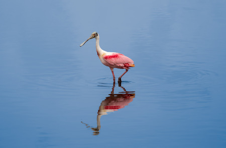 roseate: The Roseate Spoonbill is wading through wetlands in Florida