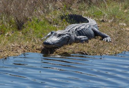 This alligator is basking in the Sun on the bank of the wetlands in Florida  photo