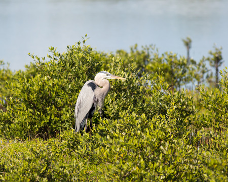 This Great Blue Heron is perched on shrubbery at a national wildlife preserve  photo
