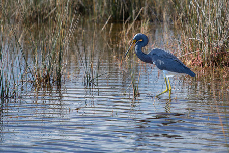 This Tricolored Heron contrasts nicely in the surroundings of the Merrit Island National Wildlife Refuge in Florida