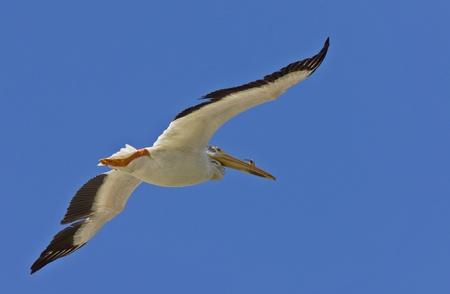 American White Pelican in Flight Canada photo