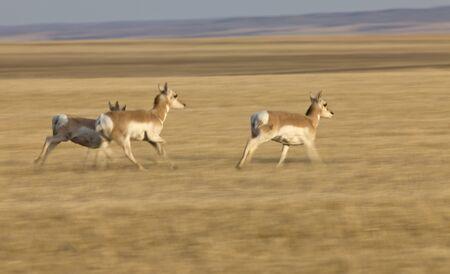 Pronghorn Antelope Prairie Saskatchewan Canada running blurred panned photo