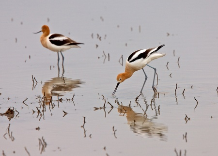 American Avocet in Water reflection Canada Stock Photo - 8344397
