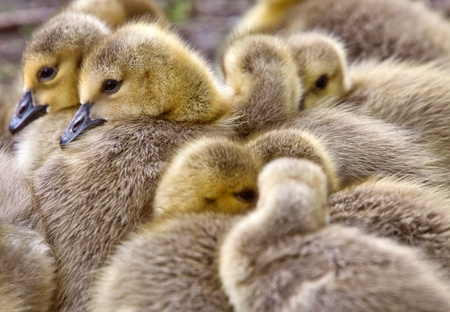 Canada Goose Chicks Saskatchewan Stock Photo - 8344399