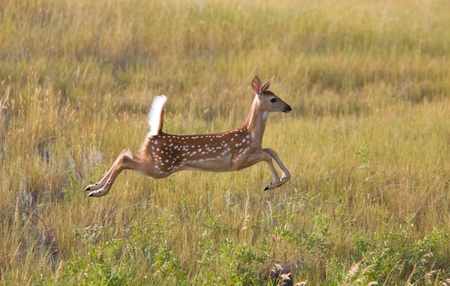 hjort: White tailed Deer fawn leaping in field Stockfoto