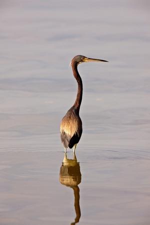 Great Blue Heron in Florida waters photo