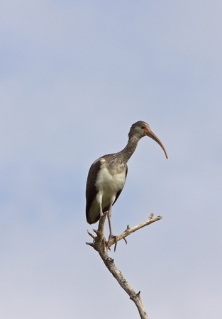 Wood Stork perched in Florida tree photo