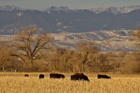 Cattle Grazing at Sunset Wyoming Stock Photo - 8347810