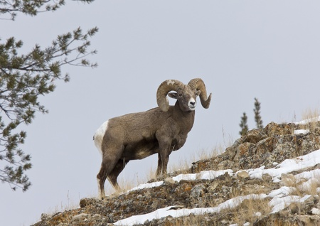 yellowstone: Yellowstone Park Wyoming Winter Snow Big Horn Sheep Stock Photo