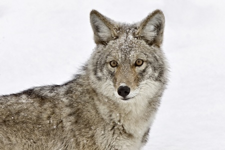 Yellowstone Park Wyoming Winter Snow coyote Stock Photo
