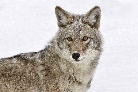Yellowstone Park Wyoming Winter Snow coyote 免版税图像