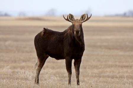 Moose on Saskatchewan field Stock Photo - 8388587
