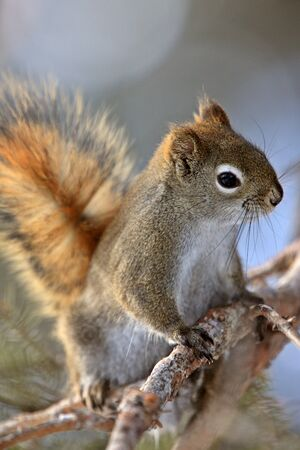 Red Squirrel in Winter Canada Stock Photo - 8388894