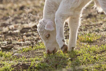 White Baby Cow Calf eating grass Stock Photo - 8388874