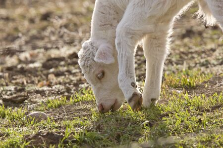 White Baby Cow Calf eating grass photo