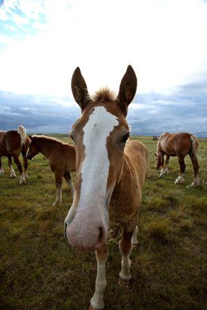 Dray horses in a Saskatchewan pasture Stock Photo - 8388972