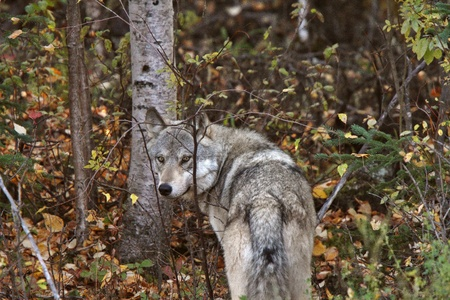Gray Wolf along forest edge in British Columbia Stock Photo