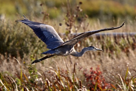 Great Blue Heron flying over Saskatchewan marsh photo