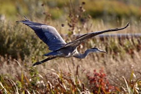 great blue heron: Great Blue Heron flying over Saskatchewan marsh Stock Photo