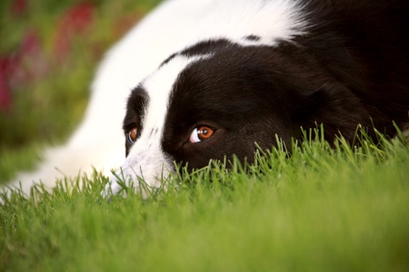 eyeing: Dog on lawn eyeing the photographer