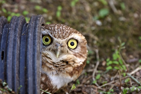 burrowing: Burrowing Owl in culvert