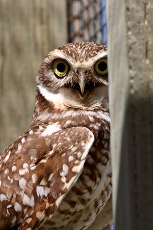 window seal: Burrowing Owl on enclosed window seal Stock Photo