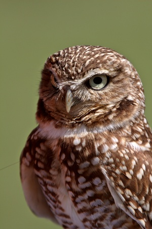 burrowing: Burrowing Owl looking at you