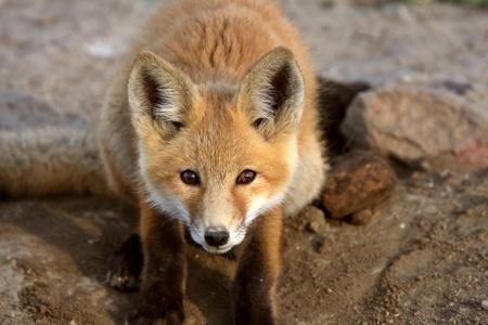 volpe rossa: Cucciolo di volpe rossa in Saskatchewan