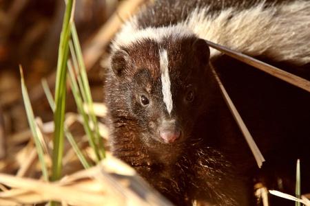 zorrillo: Skunk dividida en pantano