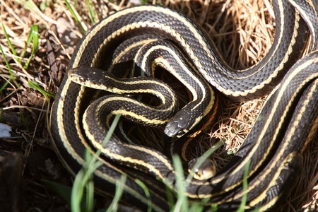 Garter Snakes mating Stock Photo