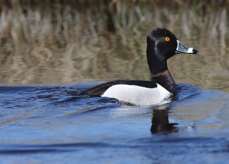 necked: Ring necked Duck in roadside ditch