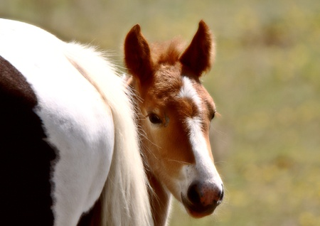 Foal hiding behind its dam Stock Photo - 8389432