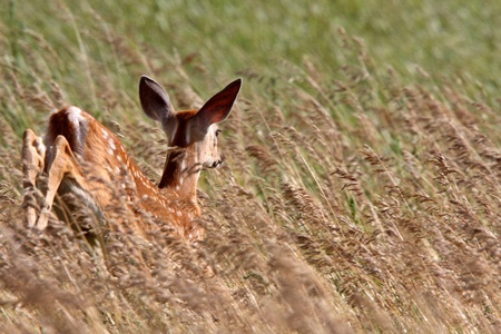 bounding: White tailed Deer fawn leaping through tall grass Stock Photo