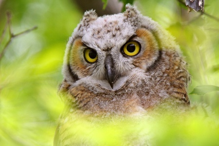 Great Horned Owl fledgling perched in tree